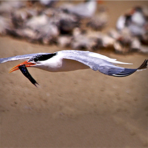 elegant tern with fish