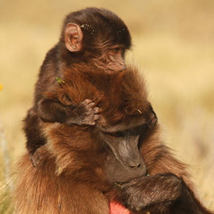 primate mother