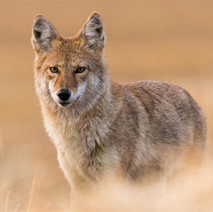 Coyote staring